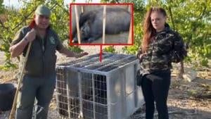 Así capturó 'el Pencho' a un gran jabalí que 'boicoteaba' sus trampas para conejos