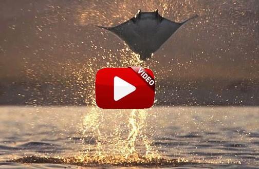 Graban junto a su barco un grupo de mantarrayas atacadas por orcas