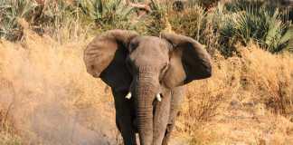 elefante mata a un hombre