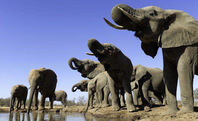 Los elefantes se convierten en un peligro en Botsuana