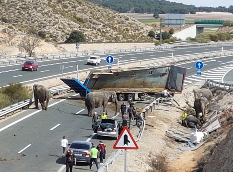 Una manada de elefantes corta una autovía en Albacete después de que su camión volcara