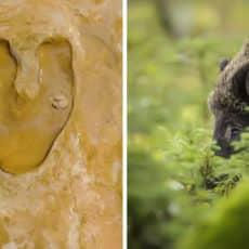 Documentan el 'rastro' de una subespecie de jabalí enorme que vivía en Huelva hace más de 100.000 años