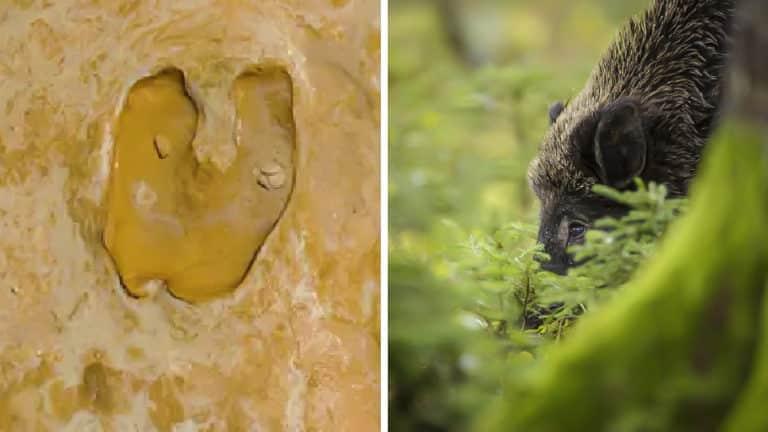 Huella del jabalí encontrada en Huelva y jabalí actual