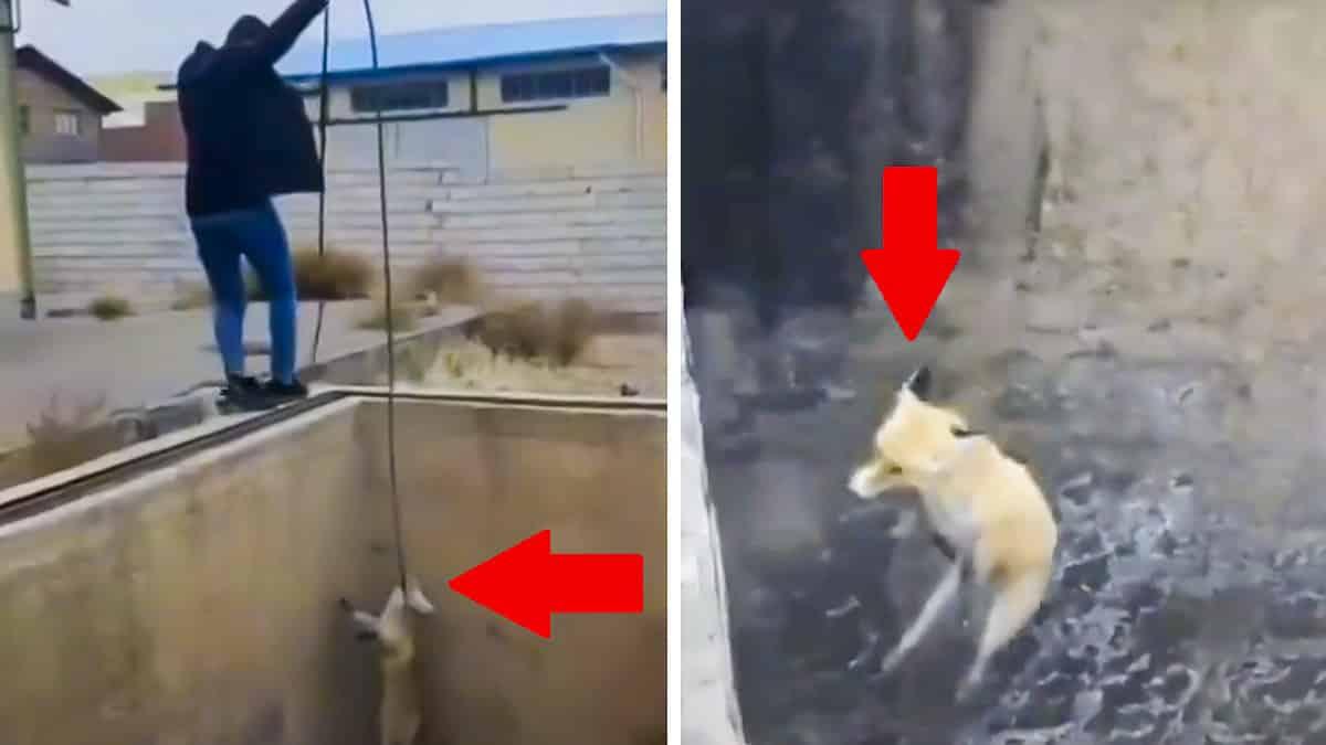 Un zorro cae en un profundo pozo y escapa de esta sorprendente manera