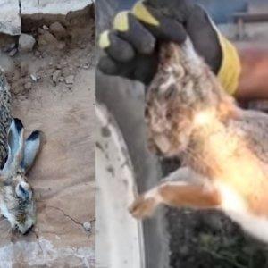 Detectada en Cuenca una liebre muerta en condiciones similares a las de Córdoba