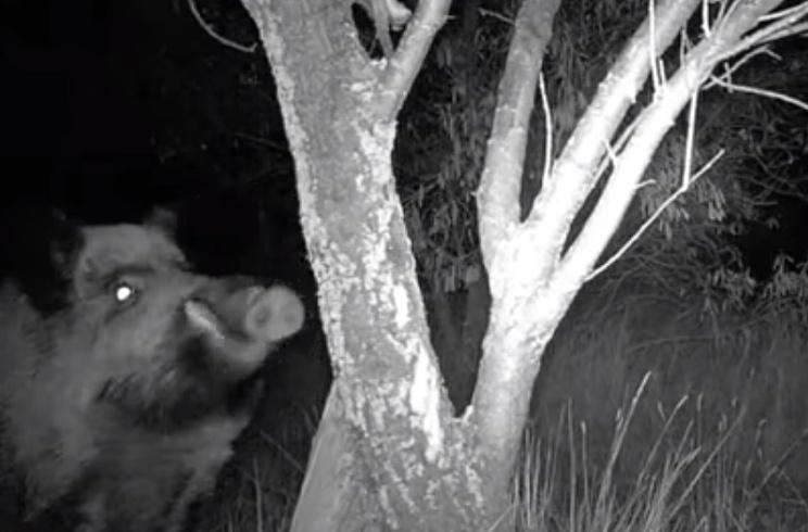 Una cámara trampa graba a un enorme jabalí comiéndose una gallina muerta