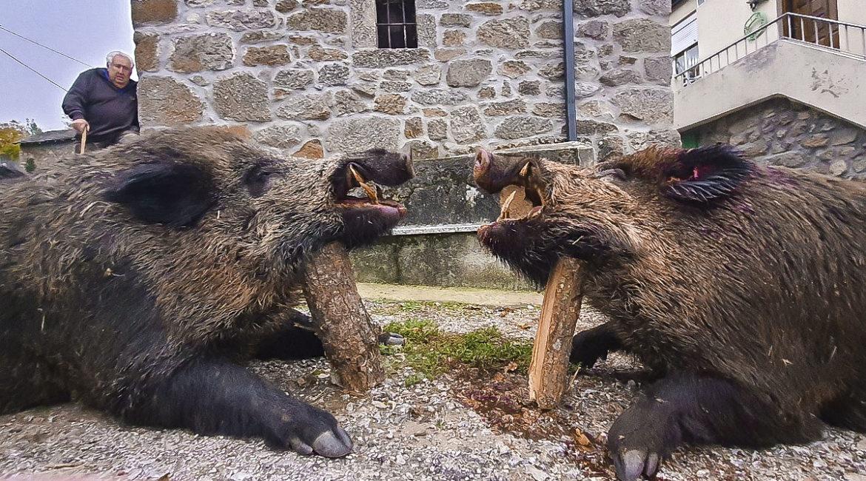 Cazan dos enormes jabalíes de 142 y 120 kilos que se negaban a abandonar su encame