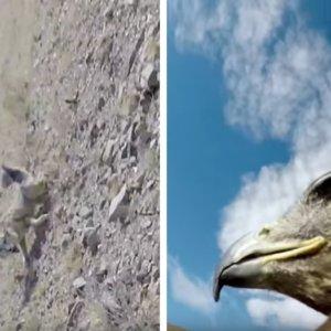 Un águila equipada con una cámara GoPro graba cómo caza a un zorro