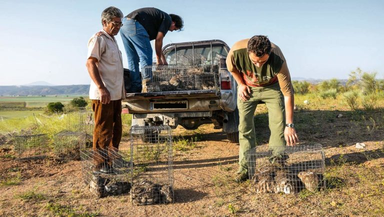 Repoblar conejos es una medida beneficiosa para el ecosistema.