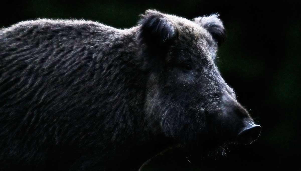 5 chollos de Amazon para cazar el jabalí en espera