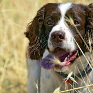 Cómo evitar que las espigas se claven a tu perro y cómo quitarlas