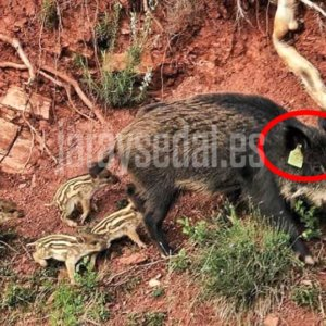 Los cazadores dicen basta a la manipulación del proyecto de vacuna para jabalíes