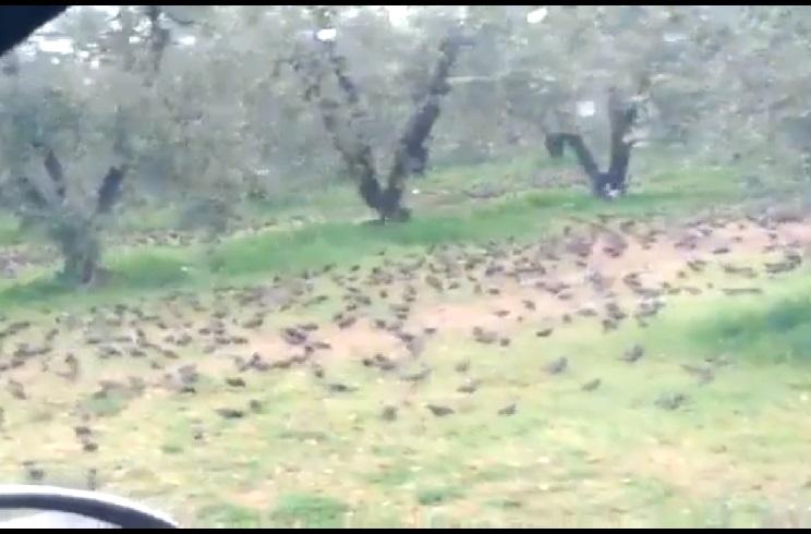 Miles de estorninos arrasan este olivar