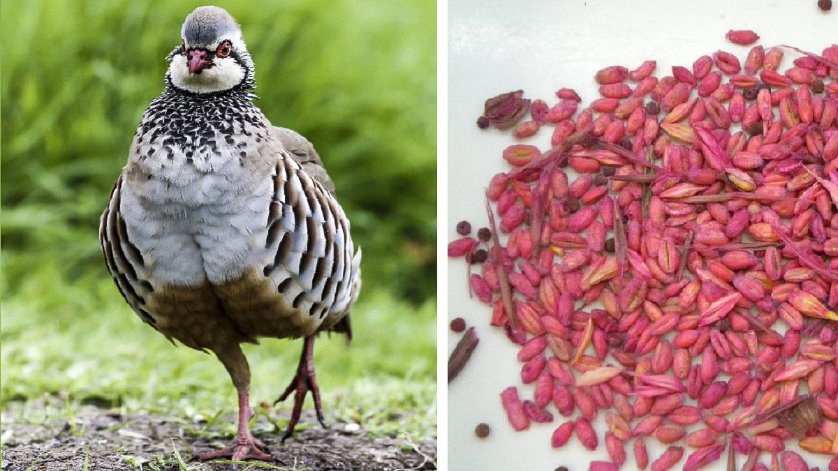 Un estudio descubre nuevos perjuicios que las semillas blindadas provocan a la perdiz roja
