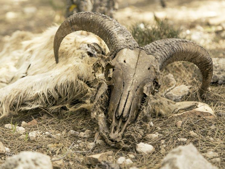 La Fundación Artemisan pide que se detenga el exterminio del arruí