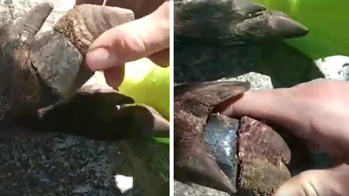 Caza un jabalí con un extraño objeto en su pezuña