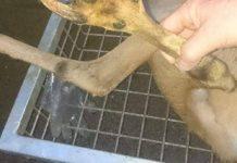 extraño corzo con pata en forma de garra
