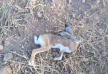 fac-recomienda-no-cazar-liebres-mixomatosis