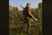 faisan ataca cazador