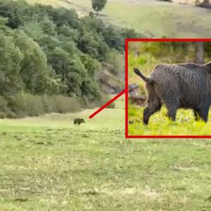 El jabalí con más suerte de España: se pasea ante 8 cazadores y escapa indemne