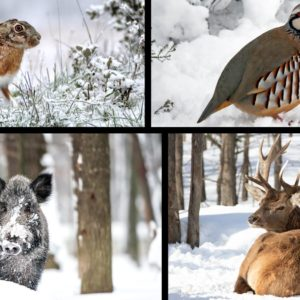 Ciervos, jabalíes, perdices, liebres... así se las ingenia la fauna cinegética para sobrevivir a 'Filomena'