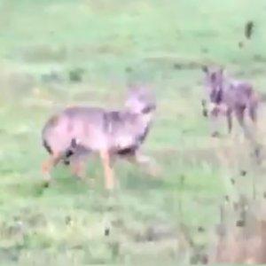Dos lobos observan a un conductor gallego mientras este los graba a pleno día