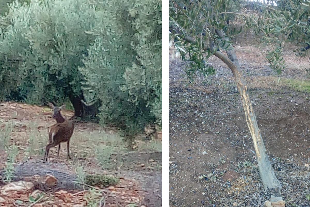Un aceitunero de Jaén denuncia que ciervos y cabras montesas arrasan sus olivos: «Es insufrible»