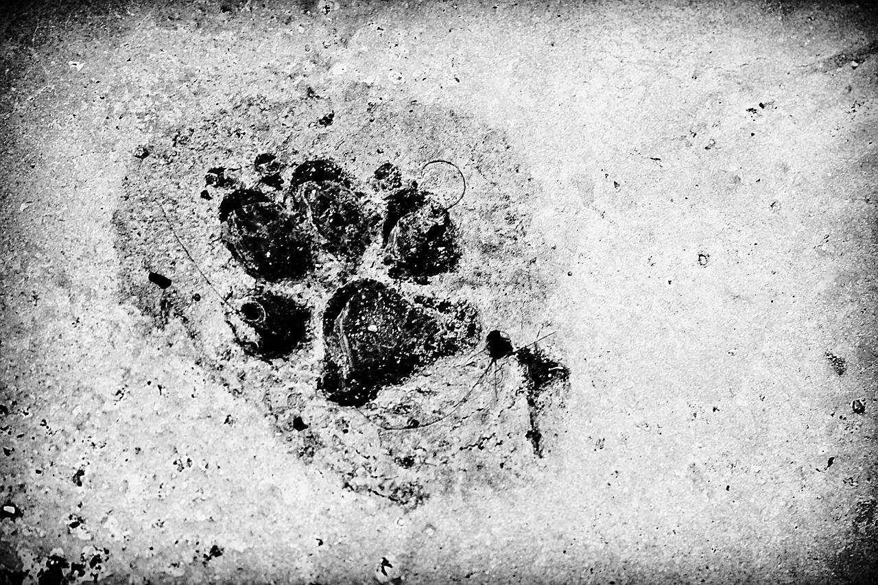 Publicado el nuevo libro: Lobos, linces y osos. Los grandes carnívoros a través de sus rastros