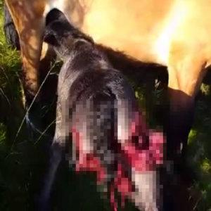 El vídeo de este potro vivo desgarrado por los lobos conmociona las redes