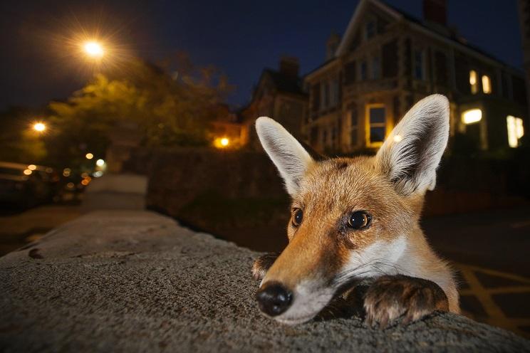 fotografia-sobre-naturaleza-zorro