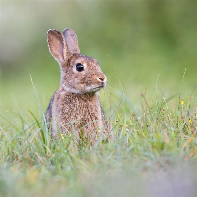 El conejo provoca la declaración de emergencia cinegética en 19 municipios