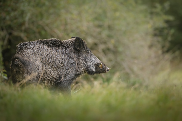 Francia prohíbe la caza del jabalí