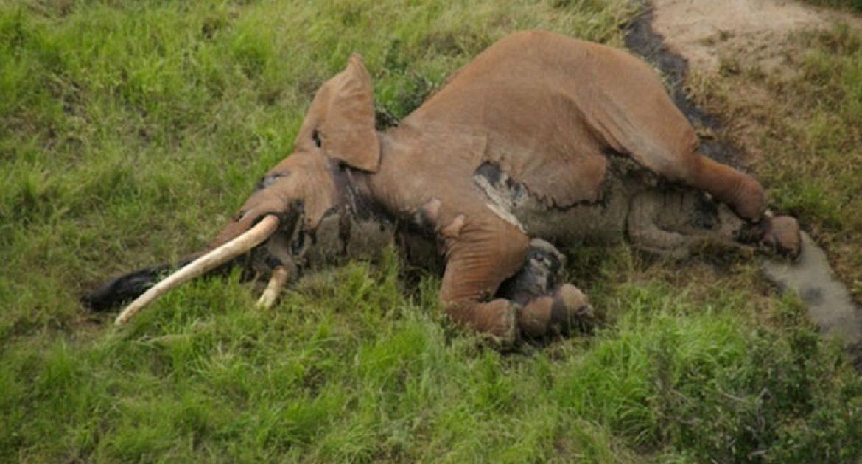 Furtivos acaban con uno de los últimos ejemplares de elefante de colmillos gigantes