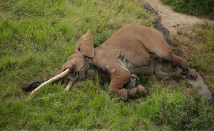 Los restos del animal fueron encontrados por agentes medioambientales de Kenia. / Tsavo Trust