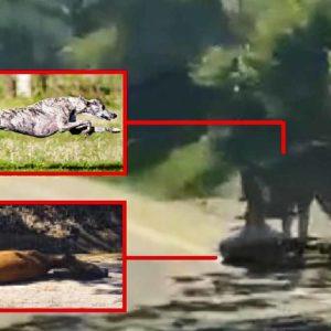 El galgo de una animalista se escapa y caza a una corza junto a un pueblo de Soria