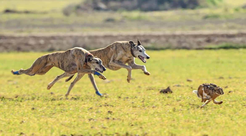 ¿Cuántos perros de caza se abandonan al año en España?