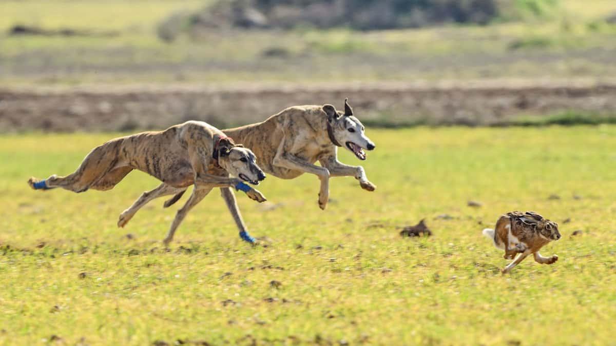 Galgo español: la raza de perro de caza nacida para la liebre