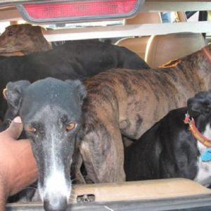 La Guardia Civil recuerda que más del 50% de los perros robados en España son galgos