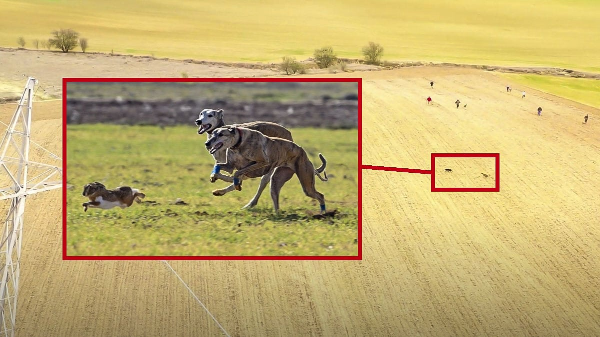 Así de impactante es una carrera de liebres con galgos a vista de dron