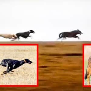 Dos galgos persiguiendo a un lobo, el vídeo que corre como la pólvora en redes