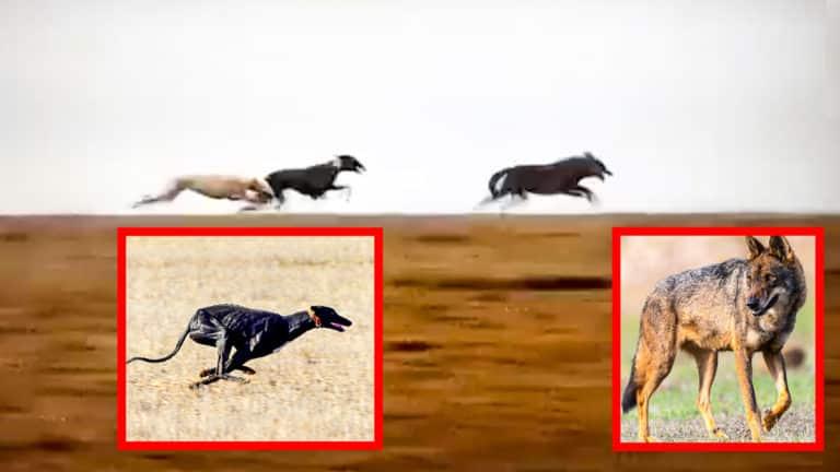Imagen del vídeo de los galgos corriendo al lobo junto a fotos de recurso. ©YouTube y Shutterstock