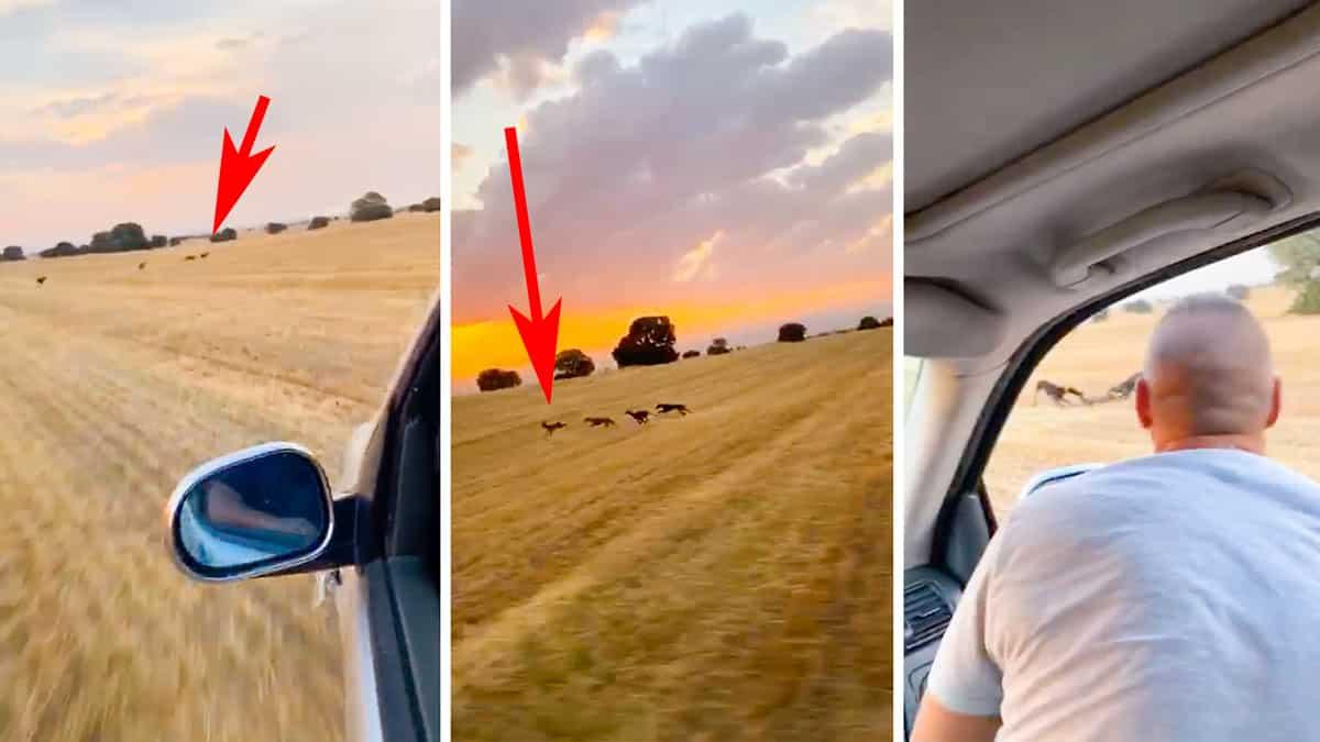 Se graban corriendo un corzo con galgos, desde el coche y suben el vídeo a redes