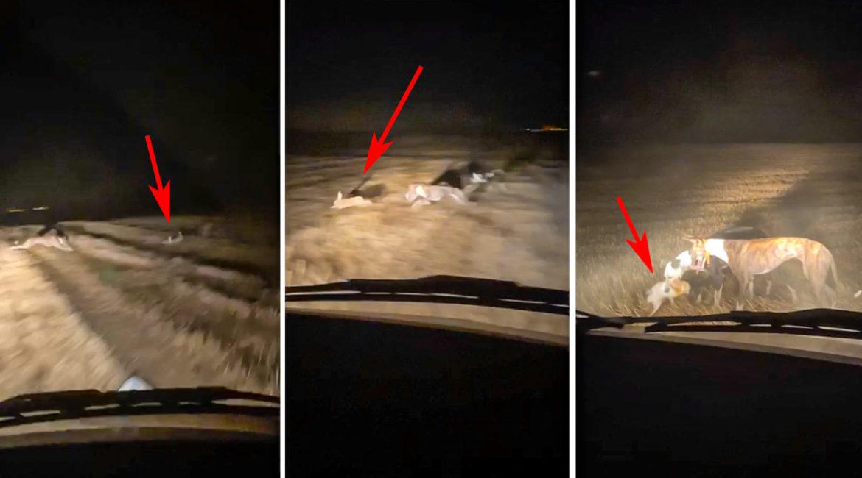 Se graban corriendo liebres de noche y con las luces del coche: el vídeo que indigna a los cazadores