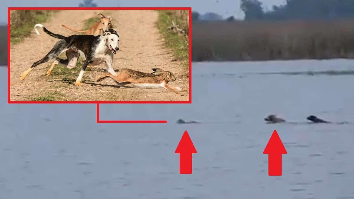 Una liebre perseguida por tres galgos se tira al agua en una carrera surrealista