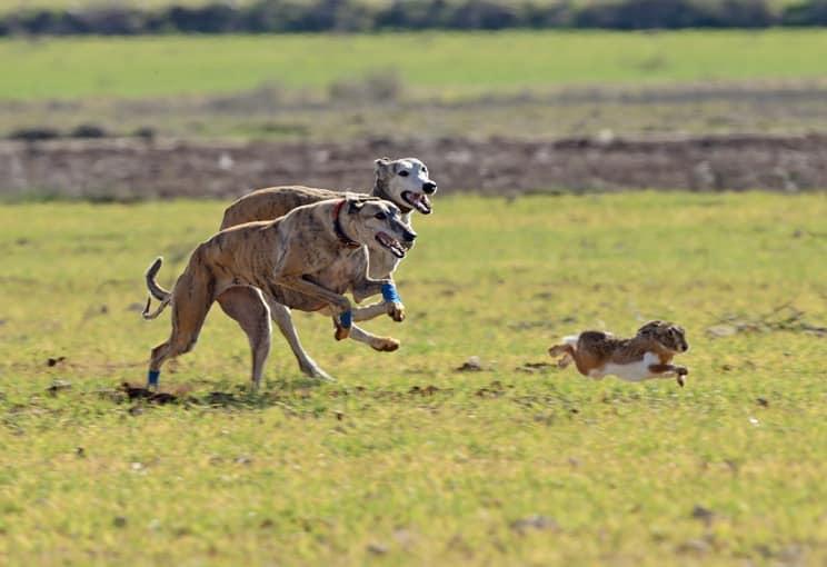 Histórico revés al animalismo: Portugal rechaza prohibir las carreras de galgos