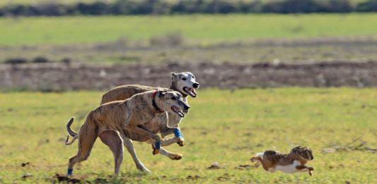 Galgos corriendo una liebre