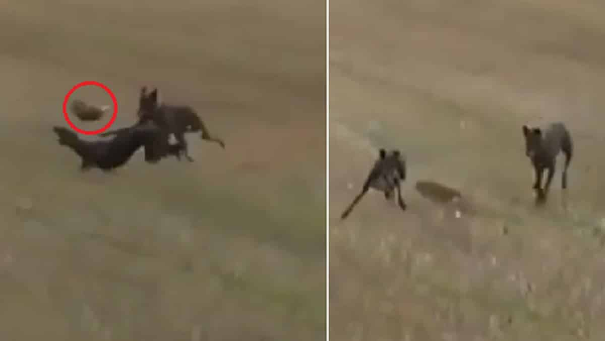 Una liebre da un espectacular salto por encima de un galgo para evitar ser cazada