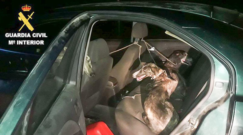 Los galgos robados, en el interior del coche. @Guardia Civil