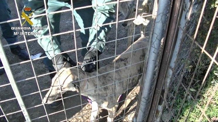 Cae una red dedicada a robar galgos a cazadores en Cáceres