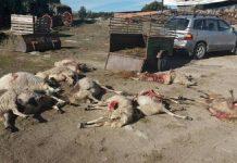 ganaderos puedan disparar al lobo